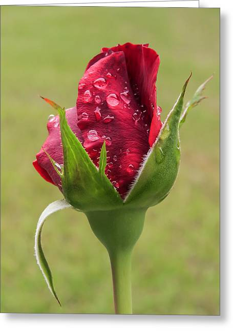Drops On Rose Bud Greeting Card by Zina Stromberg