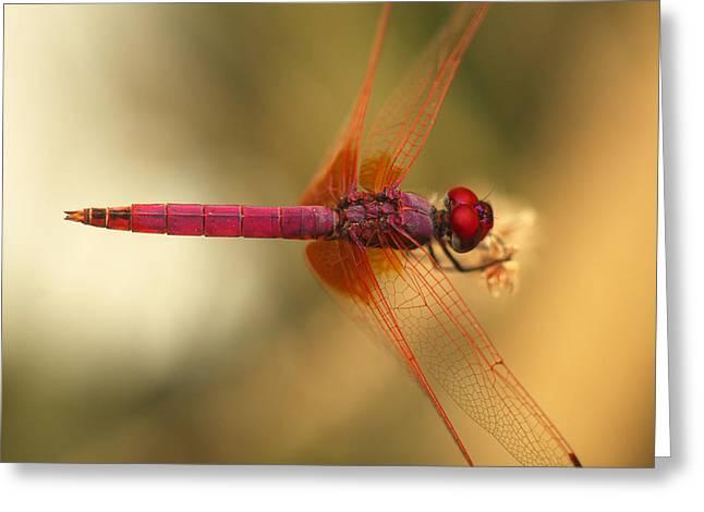 Dragonfly Macro Greeting Cards - Dropwing dragonfly Greeting Card by Paul Cowan
