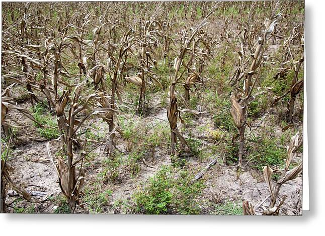 Drought-affected Maize Crop Greeting Card by Jim West