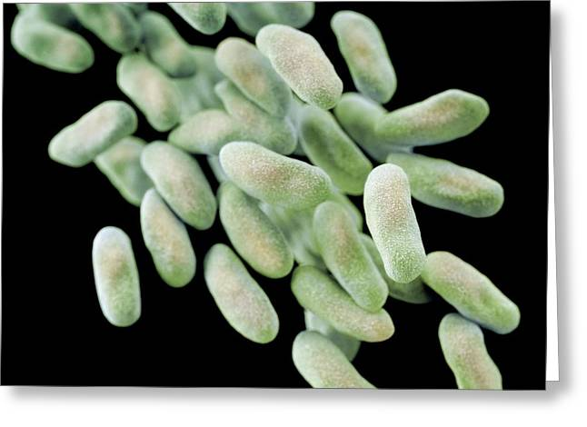 Drug-resistant Enterobacteria Bacteria Greeting Card by Cdc/ Melissa Brower