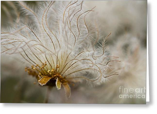 Dryads Greeting Cards - Dryas Octopetala Greeting Card by Heiko Koehrer-Wagner