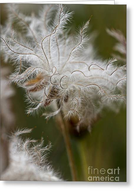 Dryad Greeting Cards - Dryas Octopetala vertical Greeting Card by Heiko Koehrer-Wagner
