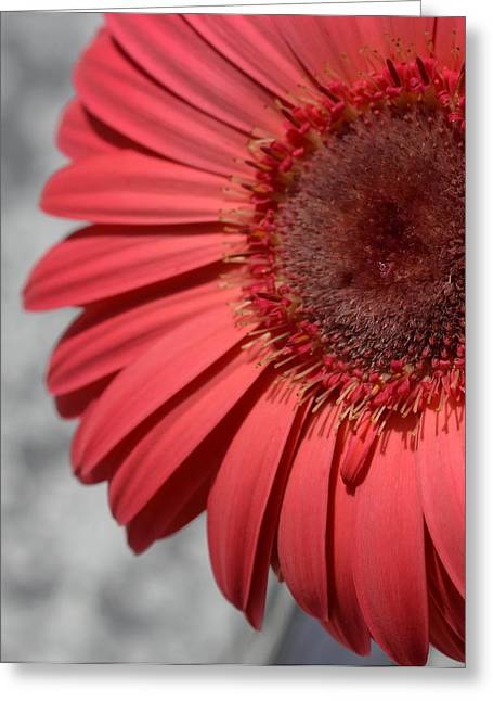 Barberton Daisy Greeting Cards - Dsc0068-003 Greeting Card by Kimberlie Gerner