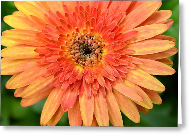Barberton Daisy Greeting Cards - Dsc1485z Greeting Card by Kimberlie Gerner