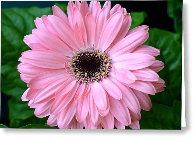 Barberton Daisy Greeting Cards - Dsc1509z-001 Greeting Card by Kimberlie Gerner