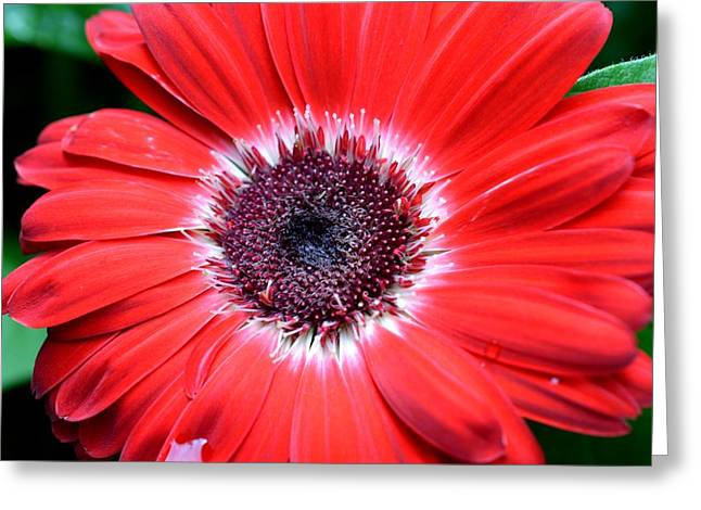 Barberton Daisy Greeting Cards - Dsc449d Greeting Card by Kimberlie Gerner