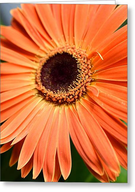 Barberton Daisy Greeting Cards - Dsc465d Greeting Card by Kimberlie Gerner