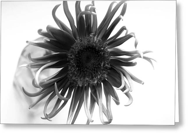Barberton Daisy Greeting Cards - Dscn78222c1 Greeting Card by Kimberlie Gerner