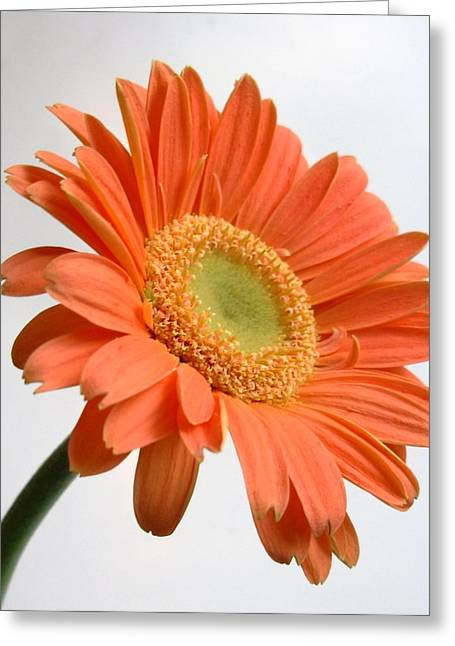 Barberton Daisy Greeting Cards - Dscn94982c Greeting Card by Kimberlie Gerner