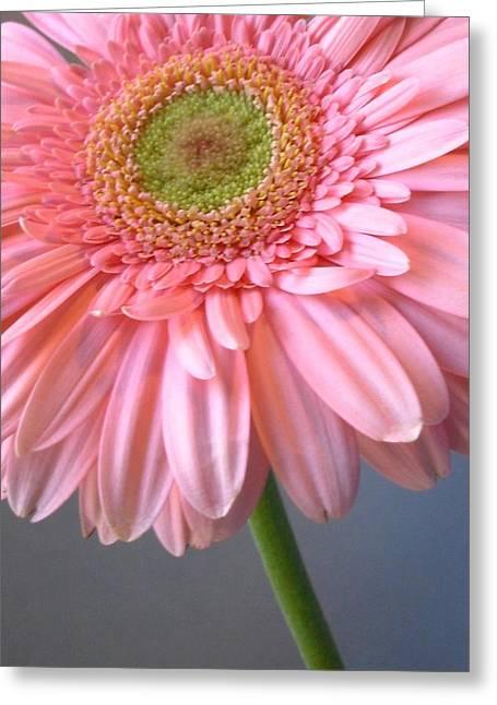 Barberton Daisy Greeting Cards - Dscn961611c Greeting Card by Kimberlie Gerner