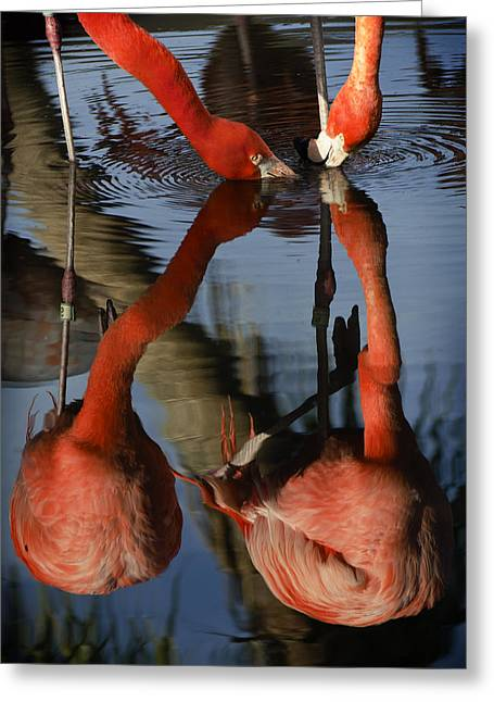 Dark Pink Greeting Cards - Dual Flamingo Reflections Greeting Card by Dave Dilli