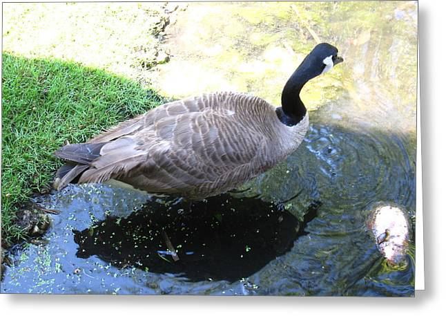 Birding Photographs Greeting Cards - Duck - Animal - 01132 Greeting Card by DC Photographer