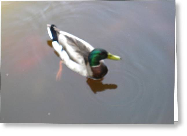 Duck Greeting Cards - Duck - Animal - 01138 Greeting Card by DC Photographer