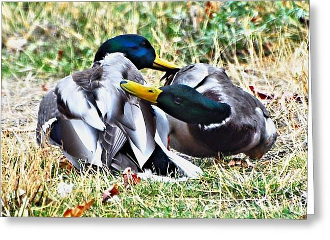 Duck Greeting Cards - Duck Battle Greeting Card by Don Mann
