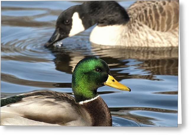 Thomas Young Photography Greeting Cards - Duck Duck Goose Greeting Card by Thomas Young