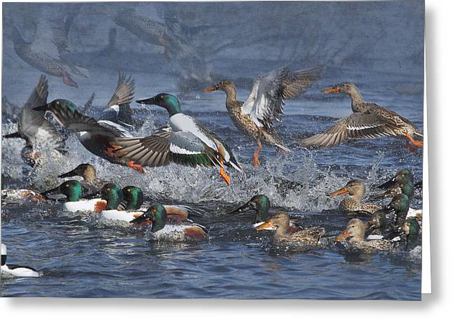 Wildlife Refuge. Greeting Cards - Duck Frenzy Greeting Card by Angie Vogel