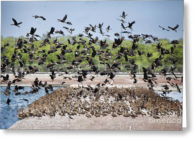Pink Ears Greeting Cards - Duck Frenzy V2 Greeting Card by Douglas Barnard