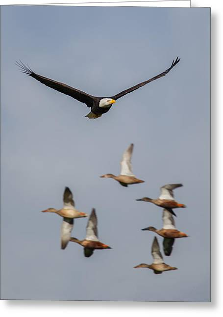 Eagles In Flight Greeting Cards - Duck Hunt Greeting Card by Angie Vogel