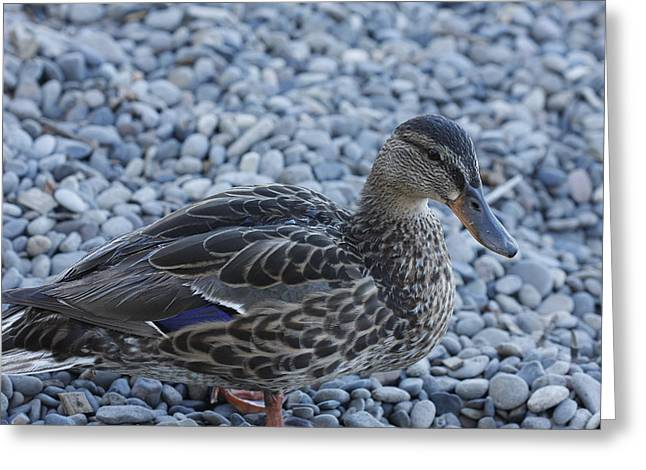 Duck Greeting Card by Kimberly Oegerle