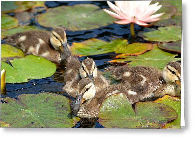 Baby Mallards Greeting Cards - Duck Soup 2 Greeting Card by Fraida Gutovich