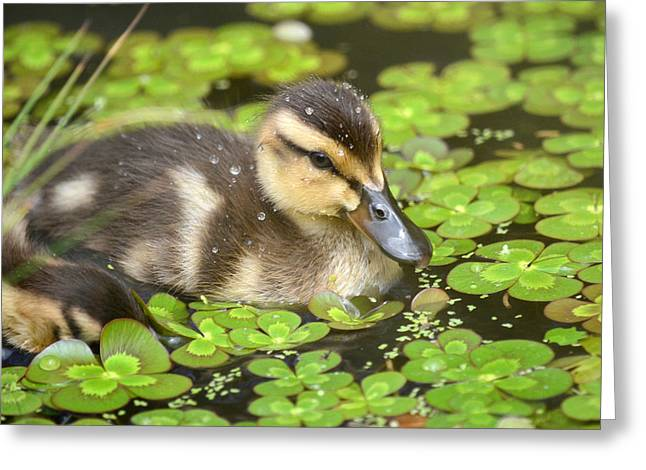 Ducklings Greeting Cards - Duck Soup 3 Greeting Card by Fraida Gutovich