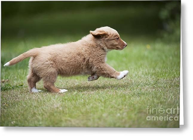 Dog Walking Greeting Cards - Duck Tolling Retriever Puppy Dog Greeting Card by John Daniels