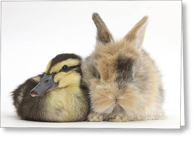 Ducklings Greeting Cards - Duckling And Baby Bunny Greeting Card by Mark Taylor