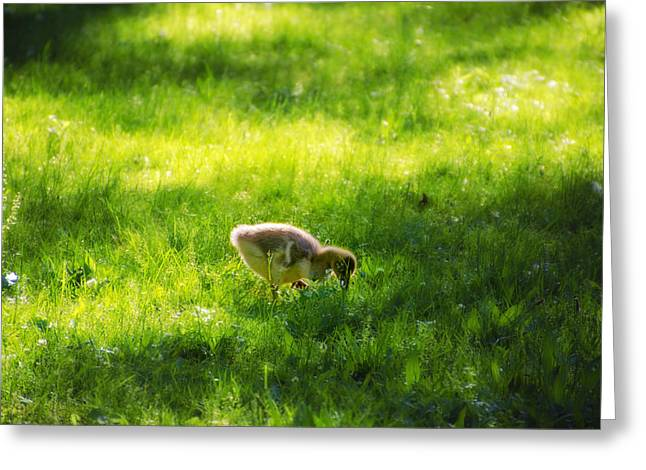 Ducklings Digital Greeting Cards - Duckling Greeting Card by Bill Cannon