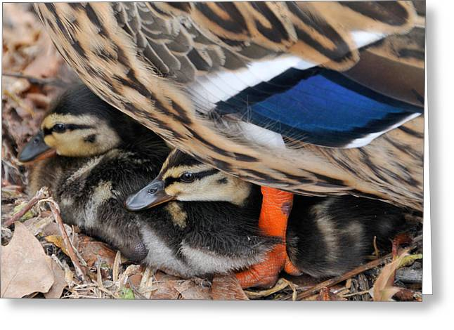 Baby Mallards Greeting Cards - Ducklings protected unter mother duck Greeting Card by Matthias Hauser
