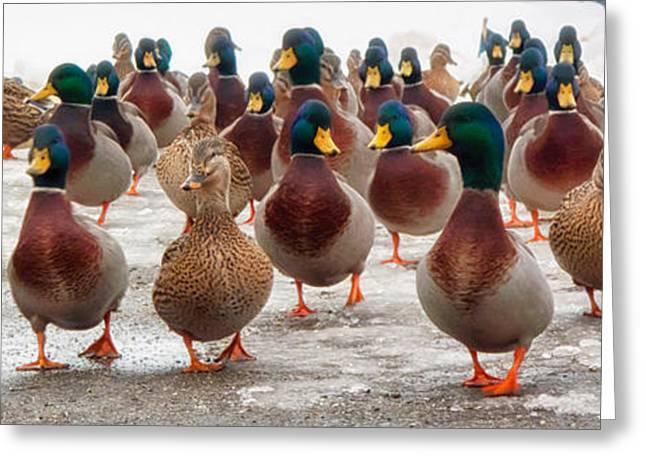 Mallard Greeting Cards - DuckOrama Greeting Card by Bob Orsillo