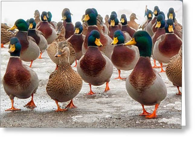 Mallards Greeting Cards - DuckOrama Greeting Card by Bob Orsillo