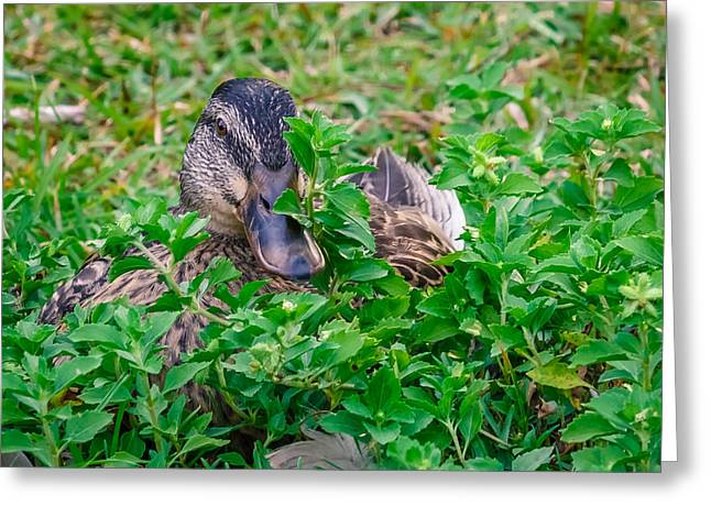 Sesquicentennial Greeting Cards - Duckouflage Greeting Card by Rob Sellers