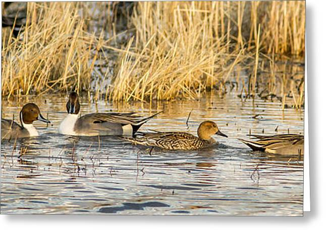 Wildlife Refuge. Greeting Cards - Ducks in a Row Greeting Card by Jean Noren