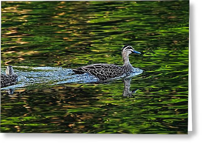 Aquatic Greeting Cards - Ducks on Green Reflections - Panorama Greeting Card by Kaye Menner