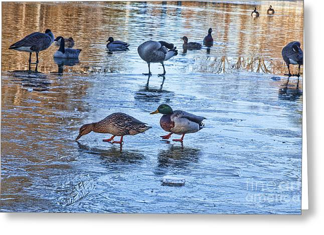 Temperature Greeting Cards - Ducks on Ice Greeting Card by Diane Macdonald