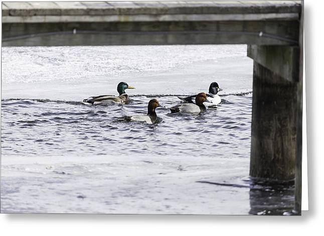 Flocks Of Ducks Greeting Cards - Ducks Under The Dock  Greeting Card by Thomas Young