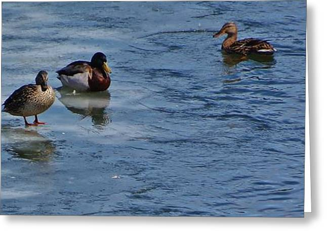 Breeds Greeting Cards - Ducks2 Greeting Card by Todd and candice Dailey