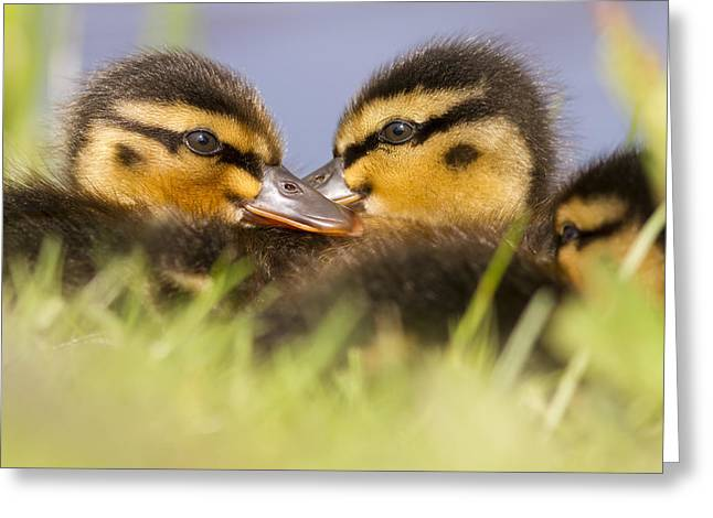 Baby Mallards Greeting Cards - Ducktwins Greeting Card by Roeselien Raimond
