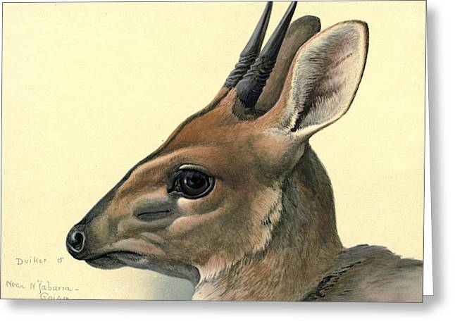 Agassiz Greeting Cards - Duiker Greeting Card by Louis Agassiz Fuertes
