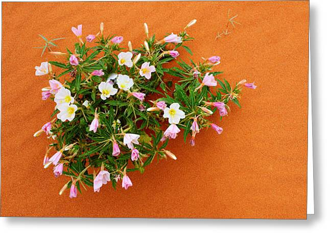 High Park Fire Greeting Cards - Dune Evening Primrose Flowers In Sand Greeting Card by Panoramic Images