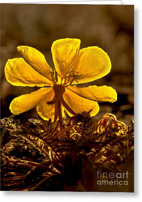 Primroses Greeting Cards - Dune Evening Primrose Greeting Card by Robert Bales