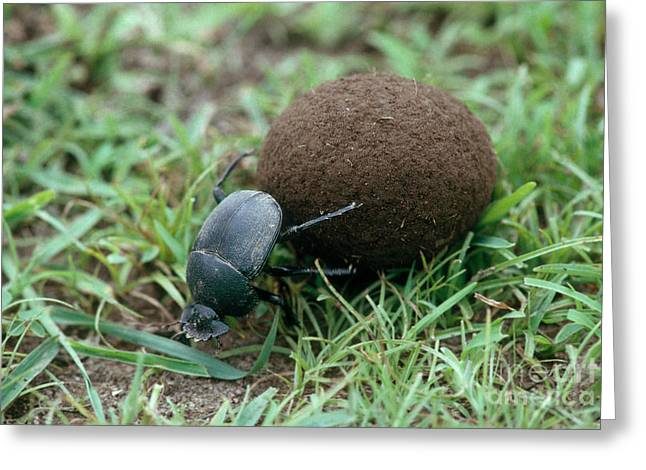 Serengeti Animal Greeting Cards - Dung Beetle Greeting Card by Gregory G. Dimijian, M.D.