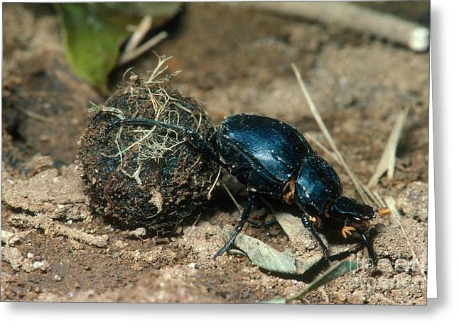 Dung Greeting Cards - Dung-rolling Beetle Greeting Card by Gregory G. Dimijian, M.D.