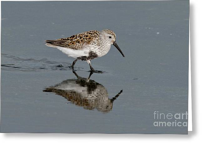 Reflection In Water Greeting Cards - Dunlin Greeting Card by Anthony Mercieca