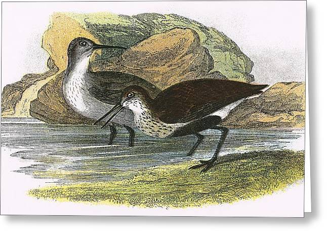 Dunlin Greeting Card by English School