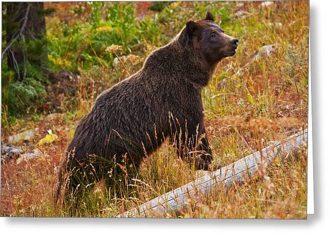 Dunraven Grizzly Greeting Card by Mark Kiver