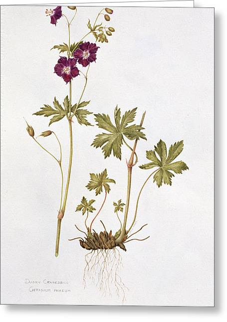 Thin Paintings Greeting Cards - Dusky Cranesbill Greeting Card by Diana Everett