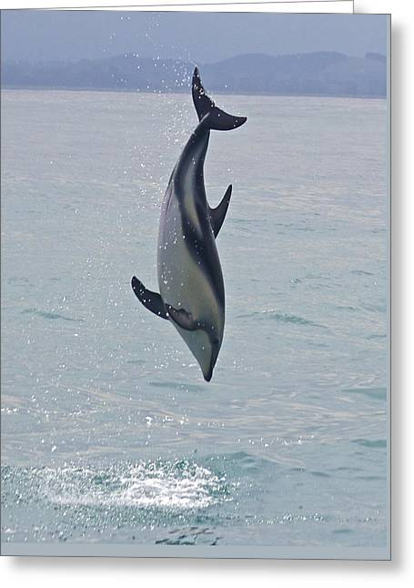 Aquatic Greeting Cards - Dusky Dolphin Greeting Card by Venetia Featherstone-Witty