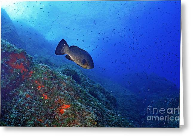 Port Cros Greeting Cards - Dusky Grouper Greeting Card by Sami Sarkis