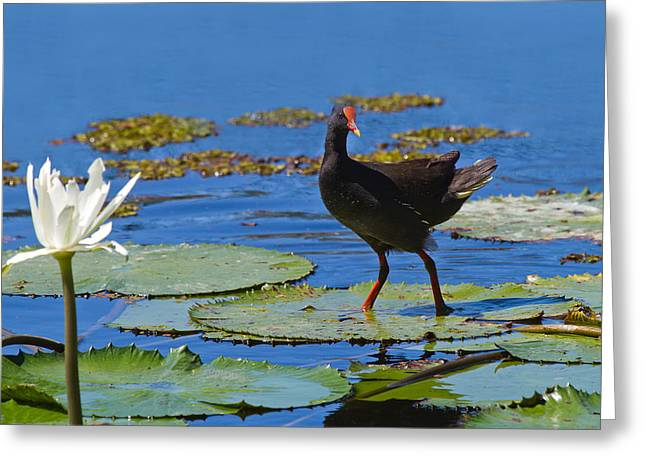 Port Kent Greeting Cards - Dusky Moorhen admiring the water lilies Greeting Card by Mr Bennett Kent
